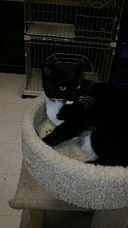 Domestic Shorthair Cat for adoption in Vacaville, California - Blue