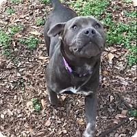 Adopt A Pet :: Stella - Greenville, SC