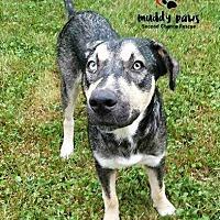 Adopt A Pet :: Duke (Husky/Lab) - Council Bluffs, IA