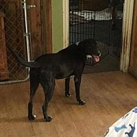 Labrador Retriever Mix Dog for adoption in Boerne, Texas - Dog