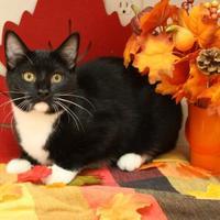 Adopt A Pet :: Perseus - Menominee, MI