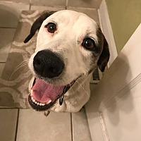 Adopt A Pet :: Rowdy - Overland Park, KS