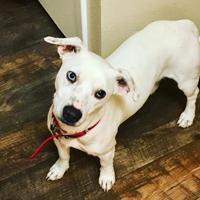 Dachshund Mix Dog for adoption in Dallas, Texas - Sinatra
