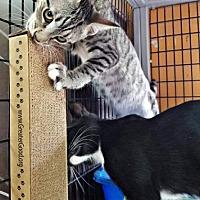 Adopt A Pet :: Kiara kitten - Tucson, AZ