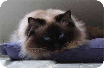 Ragdoll Cat for adoption in Keizer, Oregon - Sookie