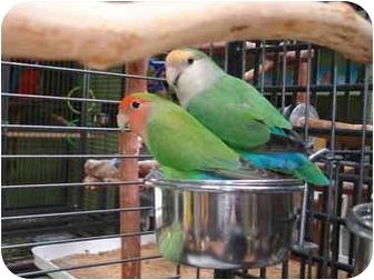 Lovebird for adoption in Redlands, California - Joey & Rosie