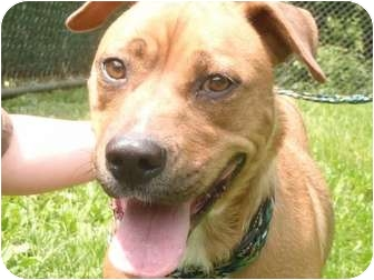 Boxer/German Shepherd Dog Mix Dog for adoption in New Fairfield, Connecticut - Maggie