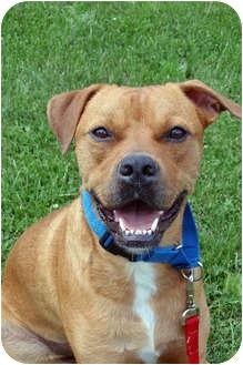 Boxer Mix Dog for adoption in Columbia, Illinois - Alex