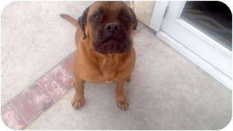 Bullmastiff/Boxer Mix Dog for adoption in San Dimas, California - Simba