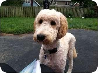 Golden Retriever/Poodle (Standard) Mix Dog for adoption in Cincinnati, Ohio - Butters
