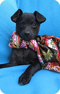 Chihuahua/Terrier (Unknown Type, Small) Mix Puppy for adoption in Irvine, California - June