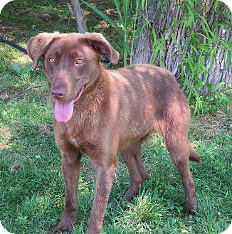 Labrador Retriever/Chesapeake Bay Retriever Mix Dog for adoption in Elizabeth City, North Carolina - Sadie