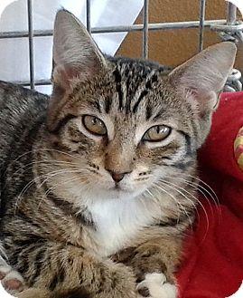 Domestic Shorthair Kitten for adoption in Seminole, Florida - Daisy
