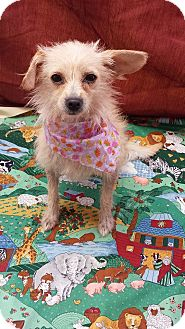 Chihuahua Mix Dog for adoption in Corona, California - MINNIE