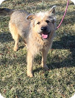 German Shepherd Dog/Poodle (Standard) Mix Dog for adoption in Russellville, Kentucky - Dino