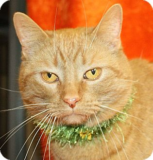 Domestic Shorthair Cat for adoption in Jackson, Michigan - Ace