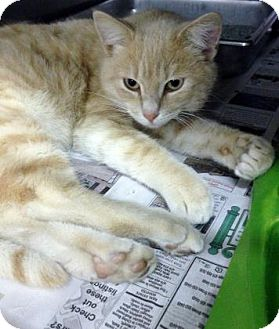 Domestic Shorthair Cat for adoption in Fort Smith, Arkansas - Plank