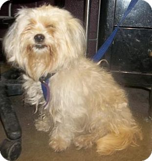 Havanese Mix Dog for adoption in Rapid City, South Dakota - Zoey