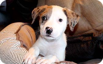 Australian Shepherd/Labrador Retriever Mix Puppy for adoption in Los Angeles, California - Murphy