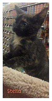 Domestic Shorthair Kitten for adoption in Covington, Kentucky - Stella