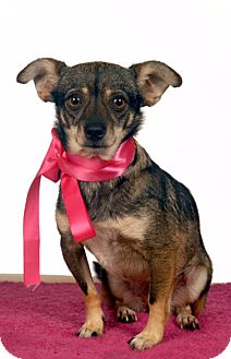 Terrier (Unknown Type, Small)/Chihuahua Mix Dog for adoption in Santa Monica, California - NALA