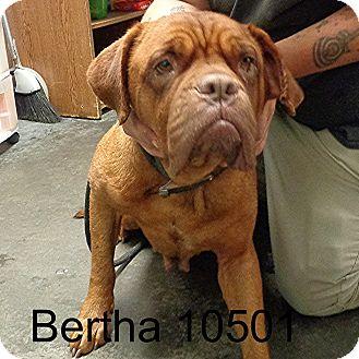 Dogue de Bordeaux Dog for adoption in Manassas, Virginia - Bertha