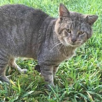 Domestic Shorthair Cat for adoption in Sunny Isles Beach, Florida - Papa