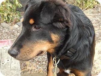 Doberman Pinscher/Border Collie Mix Dog for adoption in The Dalles, Oregon - Louis