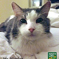 Domestic Mediumhair Cat for adoption in Oakville, Ontario - Mr. Higgins