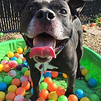 American Pit Bull Terrier Mix Dog for adoption in Manhattan, New York - Spencer