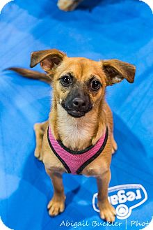 Chihuahua/Pug Mix Puppy for adoption in Henderson, Nevada - Joey