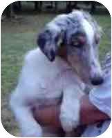 Sheltie, Shetland Sheepdog/Sheltie, Shetland Sheepdog Mix Puppy for adoption in Cole Camp, Missouri - Earc