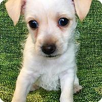 Adopt A Pet :: Tommy Puppy - Encino, CA