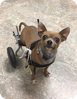 Chihuahua Dog for adoption in Greeley, Colorado - Pepe