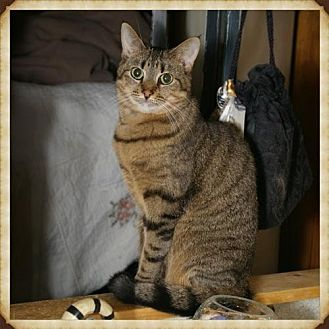 Domestic Mediumhair Cat for adoption in Island Heights, New Jersey - Gigi