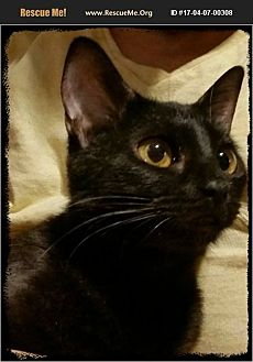 Domestic Shorthair Kitten for adoption in Middleburg, Florida - Viserys
