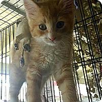 Adopt A Pet :: Chauncey - Palo Cedro, CA