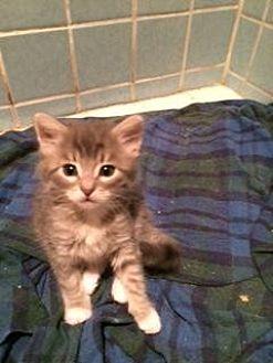 Domestic Mediumhair Kitten for adoption in San Jose, California - Pipa