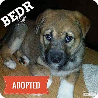 Shepherd (Unknown Type)/Husky Mix Puppy for adoption in Regina, Saskatchewan - Hewie