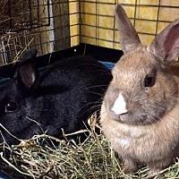 Adopt A Pet :: Fawn - Woburn, MA