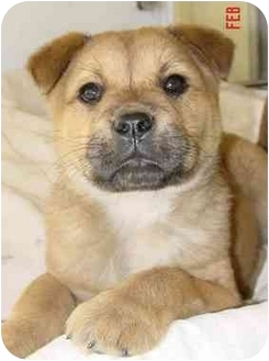 Chow Chow/Golden Retriever Mix Puppy for adoption in Rolling Hills Estates, California - Cubby