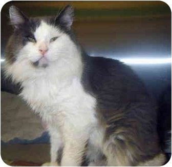 Domestic Mediumhair Cat for adoption in Grass Valley, California - Badger*URGENT*