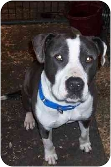 American Pit Bull Terrier Mix Dog for adoption in Salem, Oregon - DARMA