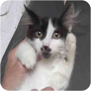 Domestic Longhair Kitten for adoption in Phoenix, Arizona - Marcel