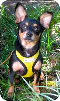 Chihuahua Mix Puppy for adoption in Portland, Oregon - Honeydew