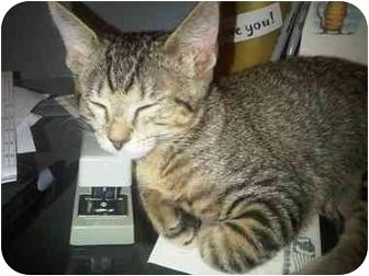 Domestic Shorthair Kitten for adoption in Panama City Beach, Florida - Pirate