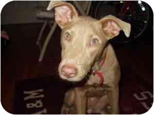 Pharaoh Hound Mix Dog for adoption in College Station, Texas - Tiki