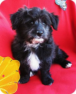 Shih Tzu/Terrier (Unknown Type, Small) Mix Puppy for adoption in Irvine, California - Beaver