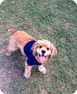 Cocker Spaniel Mix Dog for adoption in Corpus Christi, Texas - Oliver