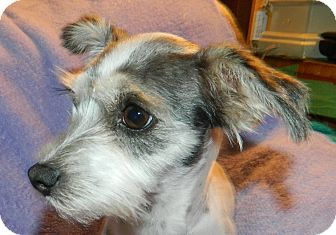 Maltese/Schnauzer (Miniature) Mix Dog for adoption in Umatilla, Florida - Luna